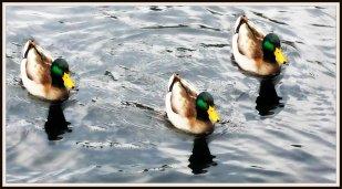 Mallards in a lake
