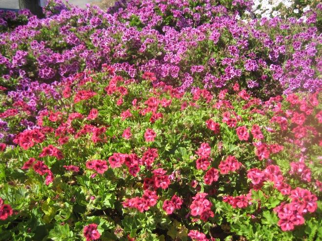 Carlsbad - Flower fields 009