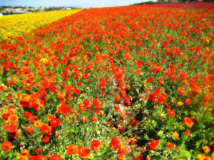 Carlsbad - Flower fields 017