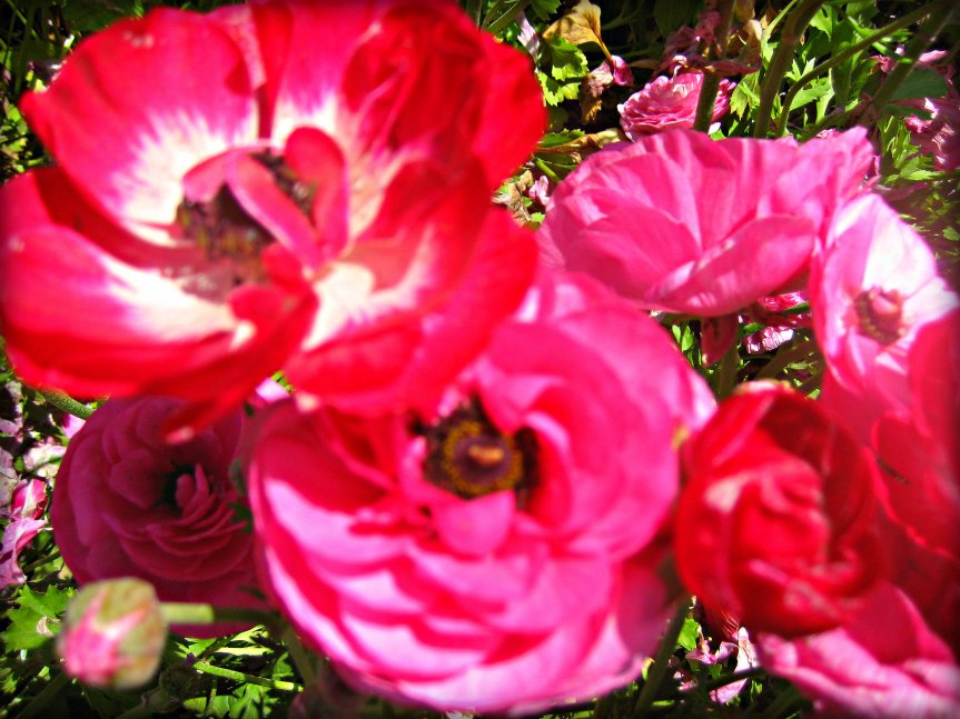 Carlsbad - Flower fields 024
