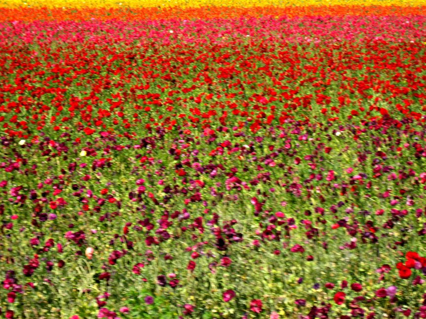 Carlsbad - Flower fields 030a