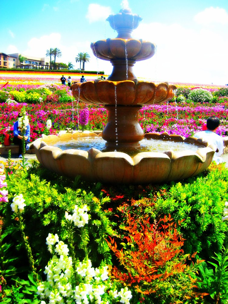 Carlsbad - Flower fields 042a