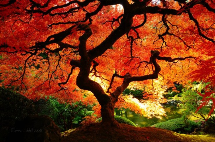japanese_maple_in_fall_color_800w